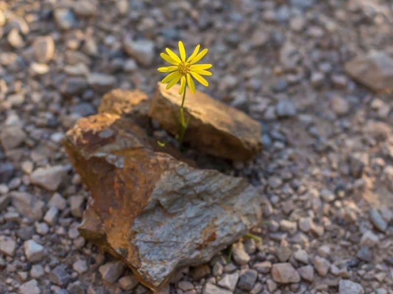 flower growing through a rock